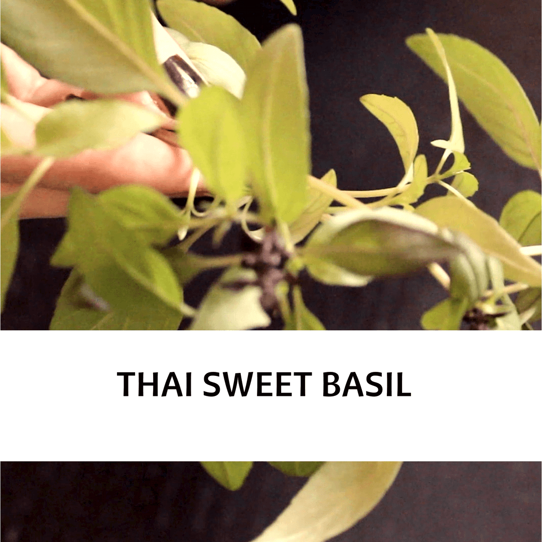 PICTURE OF THAI SWEET BASIL